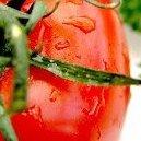 Seni0r_Tomato